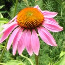 Magnus Purple Coneflower ( Echinacea purpurea ) - 30 seeds ~gemsandstems.info~