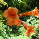 TRUMPET CREEPER Vine ( Campsis radicans ) - 15 seeds ~gemsandstems.info~