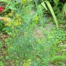 BOUQUET Dill ( Anethum graveolens ) - 30 seeds  ~gemsandstems.info~