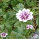 ZEBRA Mallow ( Malva alcea ) - 15 seeds ~gemsandstems.info~