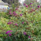 Royal Red Butterfly Bush ( Buddleja davidii )  - 15 seeds ~gemsandstems.info~