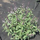 THAI Basil ( Ocimum x citriodorum) - 15 seeds ~gemsandstems.info~