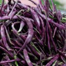 Heirloom BLAUHILDE Pole Bean ( Phaseolus ) - 10 seeds  ~gemsandstems.info~