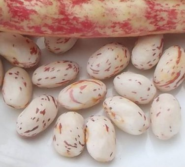 Heirloom SPECKLED CRANBERRY Pole Bean ( Phaseolus ) - 10 seeds  ~gemsandstems.info~