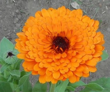 English Marigold ( Calendula officinalis ) - 30 seeds  ~gemsandstems.info~