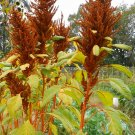 Amaranth ORANGE GIANT ( Amaranthus hypochondriacus ) - 30 seeds  ~gemsandstems.info~