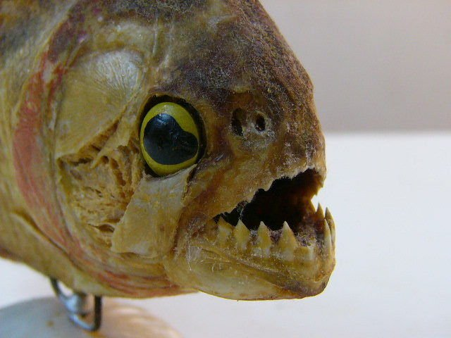 Piranha Taxidermy *dried, preserved, and mounted on a seashell stand* very old
