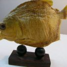 PIRANHA TAXIDERMY DRIED PRESERVED STUFFED FISH MOUNTED 6""