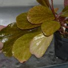 Begonia blancii 20+ seeds - very rare plant