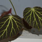 Begonia chloroneura 20+ seeds - very rare plant