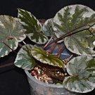 Begonia koksunii - 20 seeds - very rare Begonia species