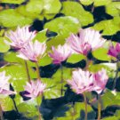 Waterlillies - Box of 8 Greeting Cards (5 inch by 7 inch) come with 8 envelopes (blank inside)