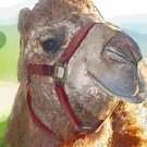 Camel - Animal Art - Greeting Cards - 8 5-inch by 7-inch cards w 8 envelopes