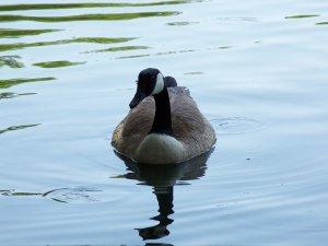 Duck Stock Photograph