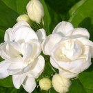 Chinese 100pcs seeds white Jasmines seeds Sweet soul for Bonsai plants
