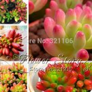 Authentic Chinese 100pcs Lithops Pseudotruncatella Plant Seed