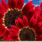 15pcs Helianthus Red Sunflower Seeds Authentic chinese seeds