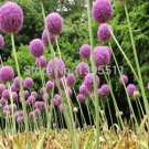 100 Purple Giant Allium Giganteum Beautiful Flower Seeds