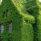 Authentic Ivy Seeds Ivy Seed Outdoor Home Decorated