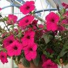 200 Pcs Authentic petunia seeds balcony Flower Seeds
