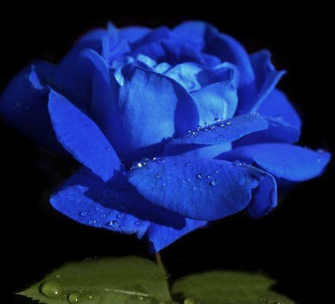 Blue Rose Seeds Shrub Perennial Rose Seeds 20 Seeds db