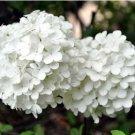 White Hydrangea Seeds Flower Seeds Garden Flower Seeds 10 Seeds db