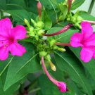 Four-o'clock Mirablils jalapa Linn Flower Seeds 20 Seeds Purple Color db