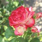 Nostalgia Rose Flower Seeds Garden Flower Seeds 200 Seeds db
