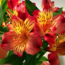 Peruvian Lily Mix Flower Seeds Perennial 20 Seeds db