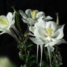 White Columbine Seeds Aquilegia Flower Seeds 50 Seeds db