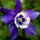 Blue Bird Columbine Seeds Aquilegia Flower Seeds 50 Seeds db