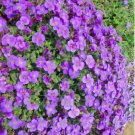 Violet Queen Clusters of Bright Flower Seeds Aubrieta cultorum Seeds 40 Seeds db