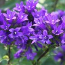Bellflower Campanula medium L. Flowers Seeds 50 Seeds db