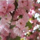 Cherry Flower Seeds Japanese Flowering Cherry Seeds Bonsai Tree Seeds 20 Seeds db