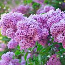 Purple Syringa Vulgaris Seeds Flower Seeds 20 Seeds db