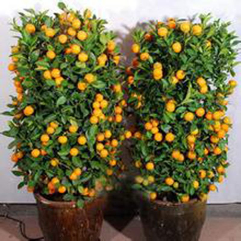 Orange Bonsai Seeds Fruit Seeds 20 Seeds