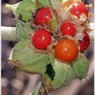 Ashwagandha Seeds Herb Seeds 100 Seeds