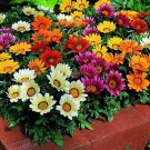 Gazania Flower Seeds 20 Seeds