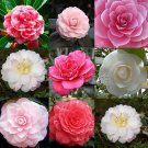 DOUBLE CAMELLIA IMPATIENS Seeds Perennial Flower Seeds 100 Seeds