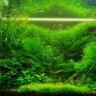 Aquarium Grass Aquatic Plant Seeds 500 Seeds