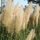 White Cortaderia Grass Seed 500 Seeds