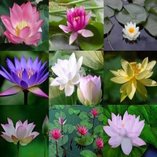 Nelumbo Nucifera (50 Mixed Lotus Seeds)