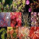 Drosera Mix (200 Sundews Seeds)