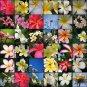 Plumeria (50 Frangipani Seeds)