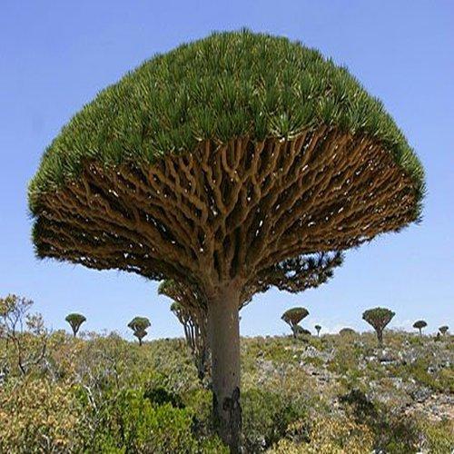 Blood Tree (50 Dracaena Seeds)