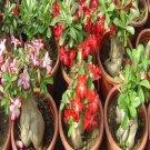 Desert Roses (5 Adenium Obesum Plants)