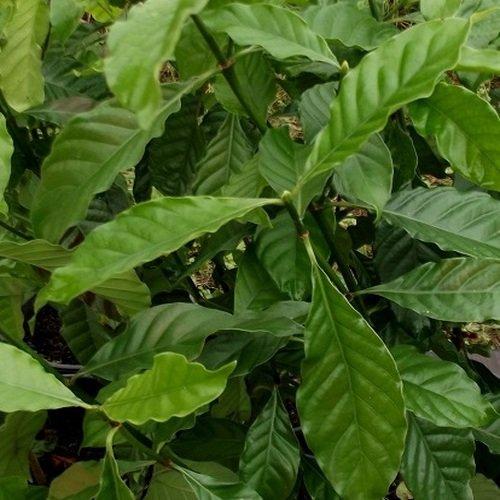 P. Alba (1 Coffee Family Cutting)
