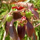 Jatropha Gossypifolia (10 Bellyache Bush Seeds)