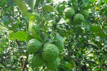 10 SEEDS THAI KAFFIR LIME SEEDS,LEECH LIME FLOWER FRESH AND VIABLE FROM MY GARDEN