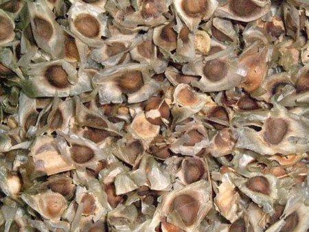 100 Organic MORINGA OLEIFERA Seeds for Asthma Cancer Diabetes Arthritis headache